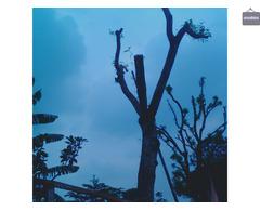 Jasa tebang pohon dan buang sampah pohon wa 085641290679